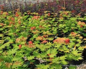 Garden Design Nursery about us - garden design nursery - japanese maples - gardenality