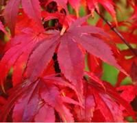 Osakazuki Japanese Maple Picture