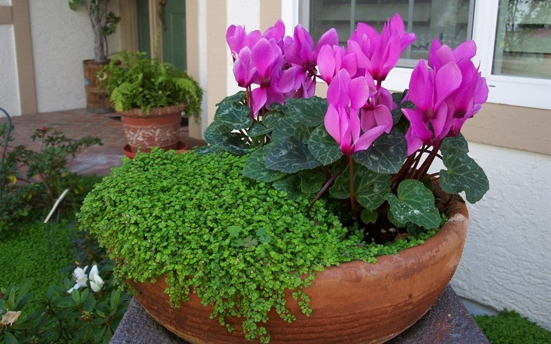 Potted Baby Tears and Cyclamen