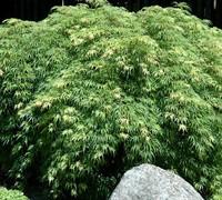 Palmatifidum Japanese Maple Trees