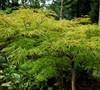 Watnong Japanese Maple