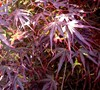 Red Dawn Japanese Maple