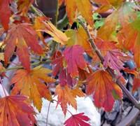 Mimaye Japanese Maple Picture