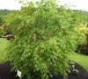 Omureyama Japanese Maple