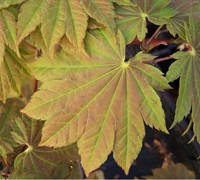 Vitifolium Japanese Maple Picture
