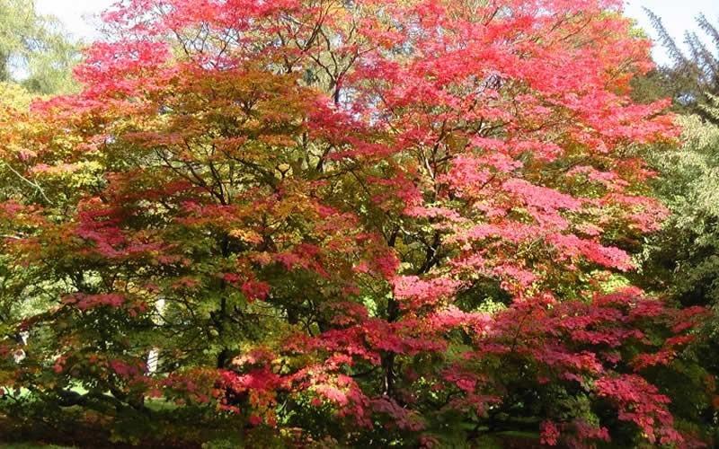 Vitifolium Japanese Maple Picture