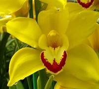 Cymbidium Orchid Picture