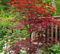 Fireglow Japanese Maple Picture