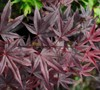 Moonfire Japanese Maple