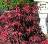 Shaina Japanese Maple