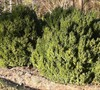 American Boxwood Picture