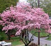 Pink Dogwood