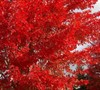 Autumn Flame Maple