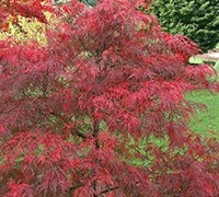 Baldsmith Japanese Maple Picture