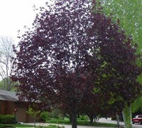 Royal Red Maple Picture
