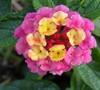Landmark Sunrise Rose Lantana