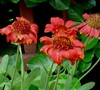 Gallo Red Gaillardia