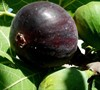 Black Mission Fig