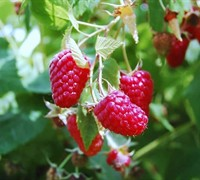 Boyne Raspberry Picture