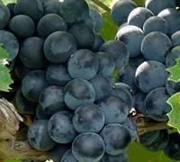 Concord Grape Picture