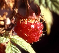 Fall Red Raspberry Picture