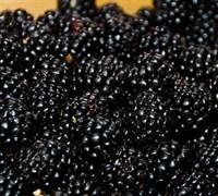 Ouachita Blackberry Picture