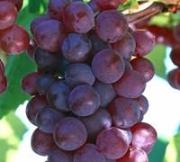 Vanessa Grape Picture