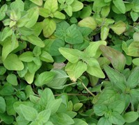 Italian Oregano Picture