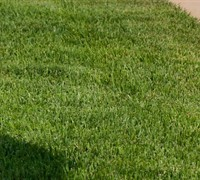 Meyers Zoysia Grass Picture