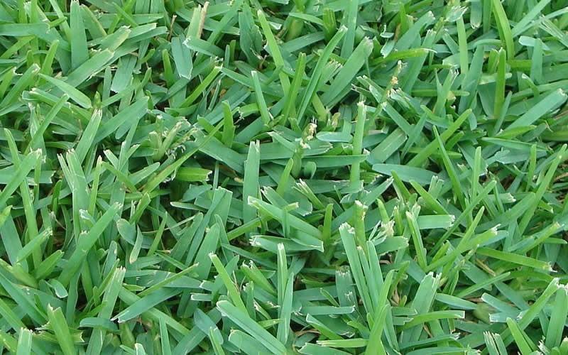 St. augustine grass lawn