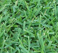 Palmetto St Augustine Grass Picture