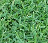 Palmetto St Augustine Grass