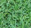 Palmetto St Augustine Grass