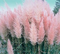 Pink Pampas Grass Picture