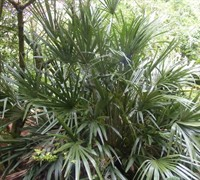 Needle Palm Picture
