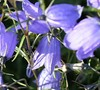 Bavarian Dwarf Bellflower