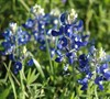 Bluebonnet  (Texas State Flower)