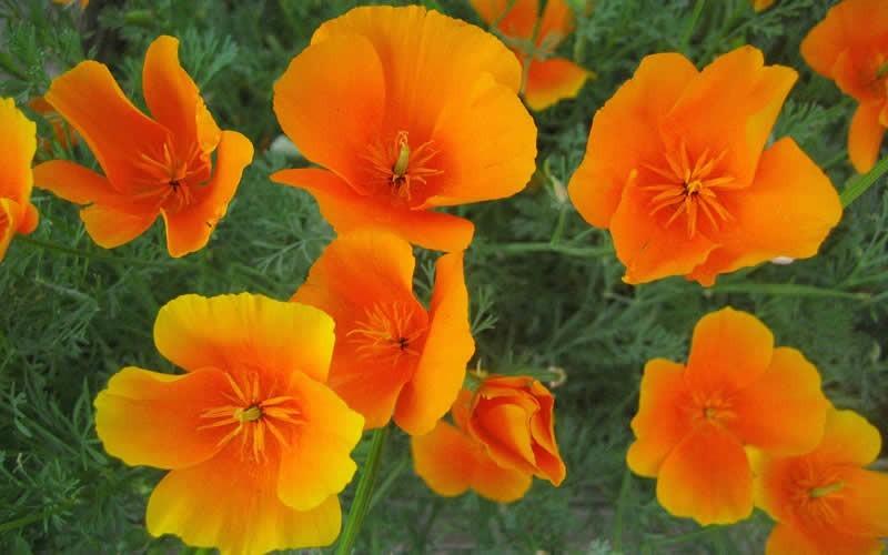 California poppy california state flower picture gardenality california poppy california state flower picture mightylinksfo