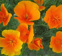 California poppy california state flower annual plants california poppy california state flower picture mightylinksfo