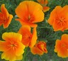 California Poppy (California State Flower)