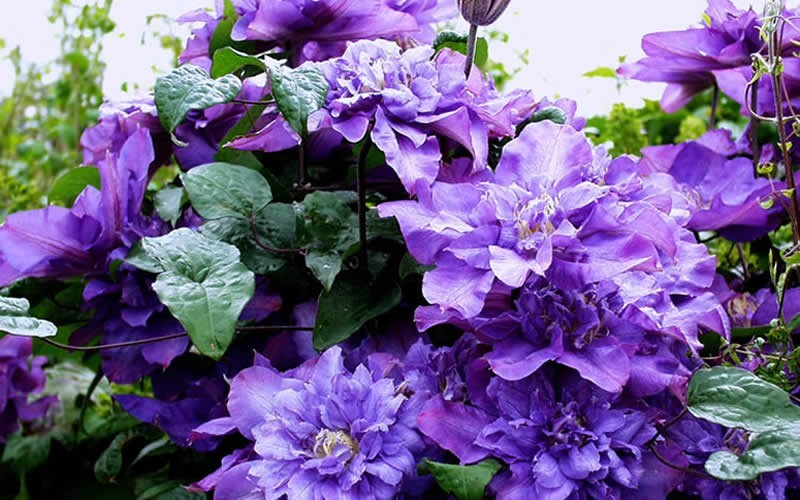 Clematis Vyvyan Pennell Picture