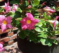 Dipladenia Rosea Picture