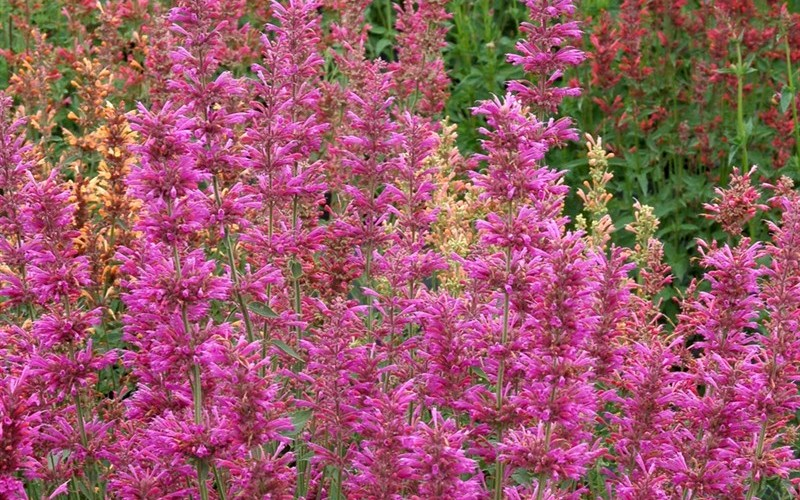 Agastache Summer Love Picture