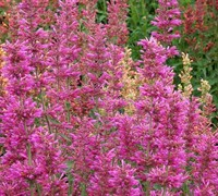 Agastache 'Summer Love' Picture