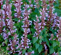 Agastache 'Summer Sky' Picture