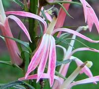 Compliment Deep Pink Cardinal Flower Picture