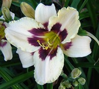 Moonlit Masquerade Daylily Picture