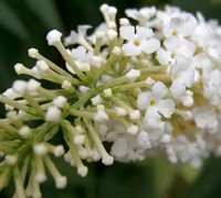 White Eyes Butterfly Bush Picture