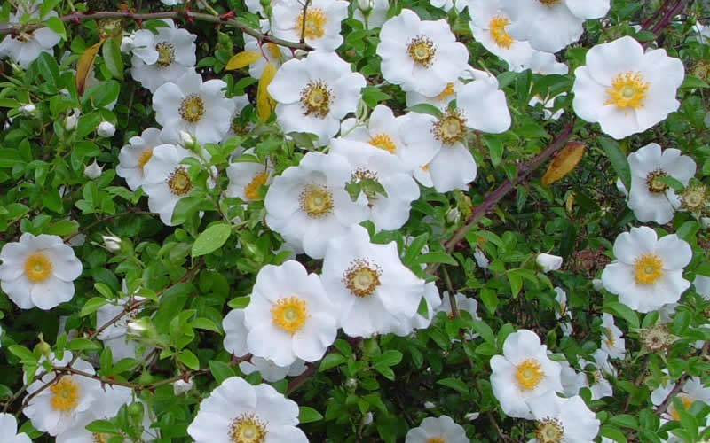 Cherokee rose georgia state flower picture gardenality for Cherokee rose