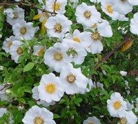 Cherokee Rose (Georgia State Flower) Picture